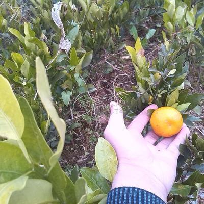 四川南充阆中市柑树苗 0.5米以下