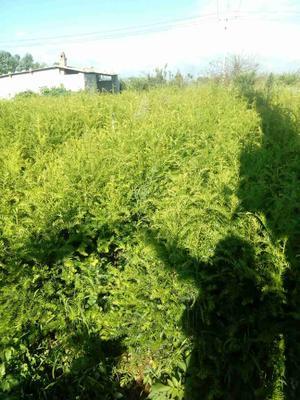 云南曲靖云南红豆杉 0.5~1米