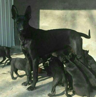 这是一张关于黑狼犬 朋友们如果想要招财辟邪,那就选黑狼的产品图片
