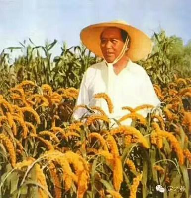 陕西榆林香谷小米