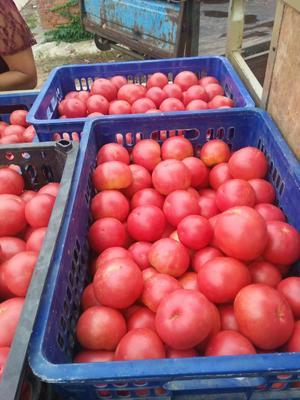 山西运城硬粉番茄 硬粉 弧三以上 不打冷