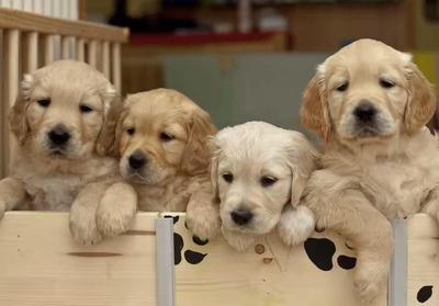 这是一张关于金毛犬的产品图片