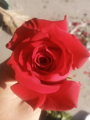 四川凉山红玫瑰