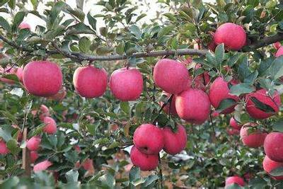 这是一张关于水晶富士 膜袋 条红 75mm以上 红富士苹果产地,山东红富士苹果批发的产品图片