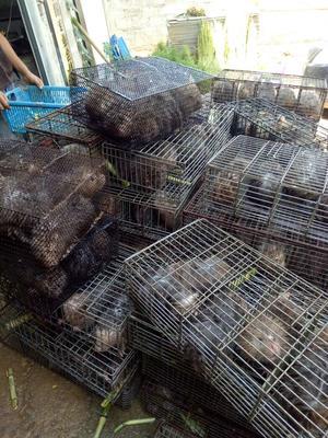广西钦州中华竹鼠苗