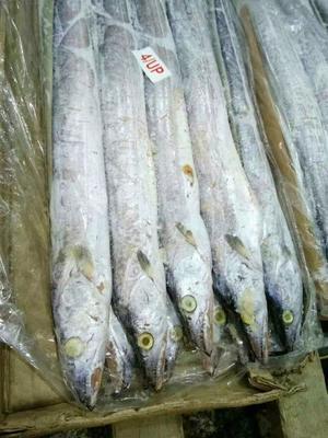 河南郑州印度带鱼 野生 1-1.5公斤