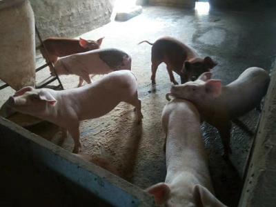 这是一张关于三元猪 60斤以上的产品图片