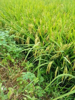 这是一张关于稻谷 中稻的产品图片