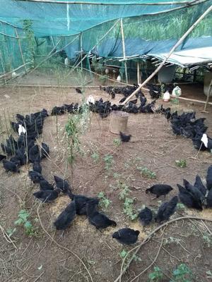 贵州黔西黑羽乌鸡 2-3斤