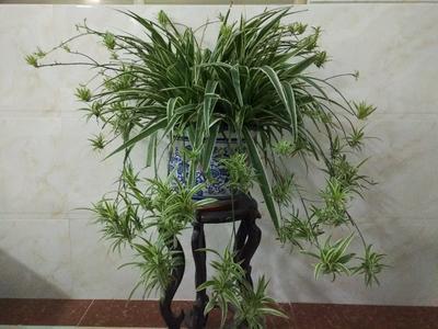 青叶吊兰 30~50cm图片