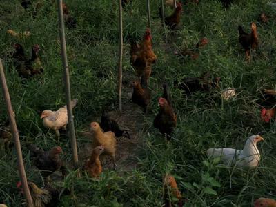 这是一张关于柴鸡 2-3斤 统货的产品图片