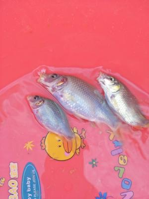 湖南永州禾花鱼 人工养殖 0.1公斤 0.15一0.4公斤每条