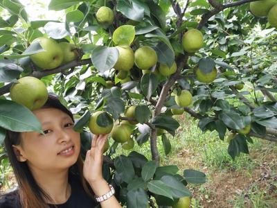 翠冠梨苗  1~1.5米 早熟,皮薄多汁