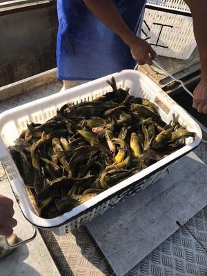 安徽合肥池塘黄颡鱼 人工殖养 0.1公斤
