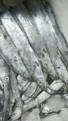 山东泰安东海带鱼 野生 0.5公斤以下