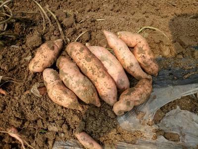 河北唐山龙薯九号 3两以上 红皮 红薯 龙薯九号