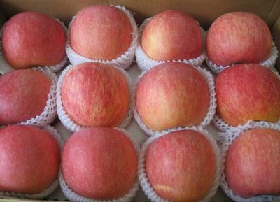 这是一张关于红富士苹果 纸+膜袋 全红 75mm以上 红富士苹果哪里便宜,今年山东苹果批发多钱的产品图片