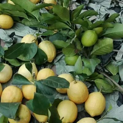 四川资阳安岳柠檬 1 - 1.5两 一级果