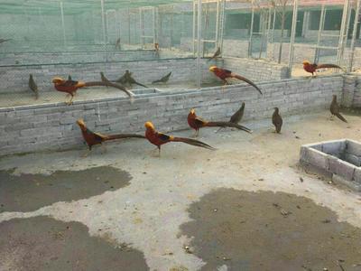 山东济宁红腹锦鸡