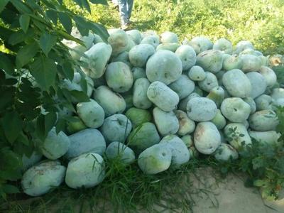 河南省郑州市惠济区一串铃冬瓜 5斤以上 白霜