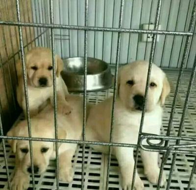 这是一张关于拉布拉多犬 精品拉布拉多火热出售中的产品图片