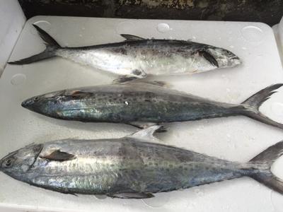 广东湛江鲳鱼 野生 1-1.5公斤