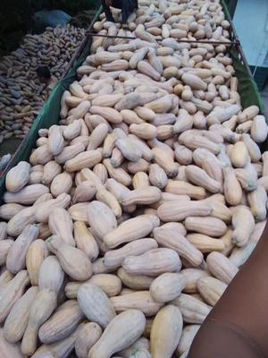 云南红河金韩蜜本南瓜 长条形 6~10斤