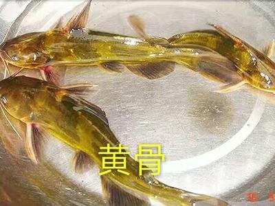 广东佛山杂交黄骨鱼 0.05公斤 人工殖养