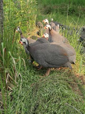 四川资阳灰色珍珠鸡 2-4斤