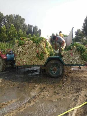山东德州法国皇后芹菜 55~60cm