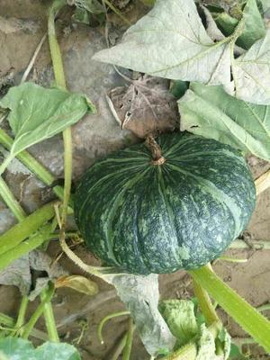 陕西省榆林市定边县黑皮南瓜 2~4斤 扁圆形