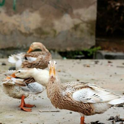 浙江衢州土鸭 2-3斤 母