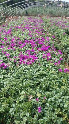 云南昆明紫花三角梅 0.2~0.5米