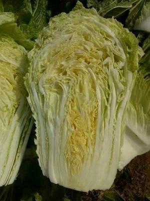 河南商丘黄心大白菜 6~10斤 净菜
