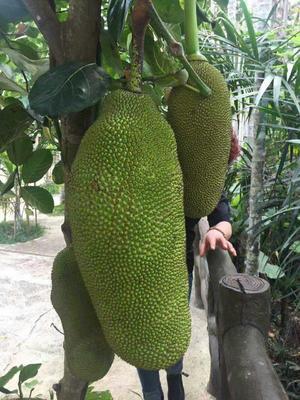 云南昆明泰国菠萝蜜 15斤以上
