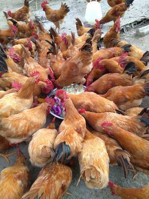 这是一张关于三黄鸡 3-4斤 统货的产品图片