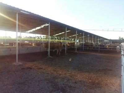 山西忻州肉牛 400-600斤 统货