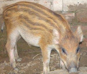 山东济宁特种野猪 30-40斤 统货