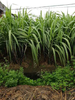 广西玉林黑皮甘蔗 5 - 6cm 2.5 - 3m