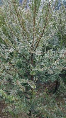 湖南张家界南方红豆杉 1.5~2米