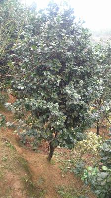 重庆红露珍 140cm以上