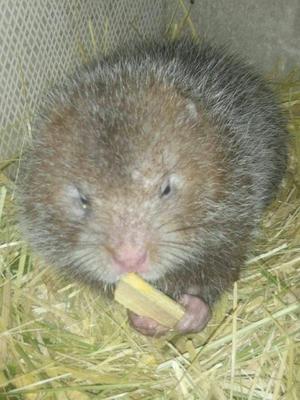湖南常德银星竹鼠 2-4斤 本合作社长期供应商品鼠及鼠苗