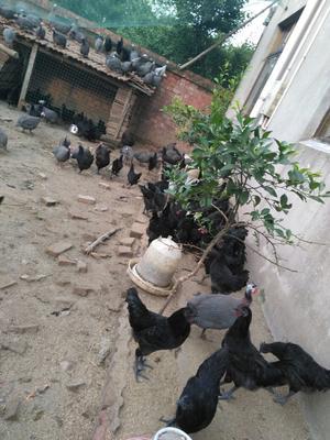 江苏南通黑羽乌鸡 2-3斤