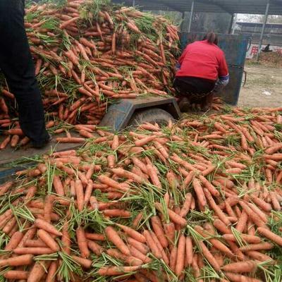 河南开封三红七寸参胡萝卜 10~15cm 2两以上 3~4cm