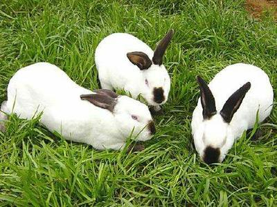 这是一张关于肉兔 3-5斤的产品图片