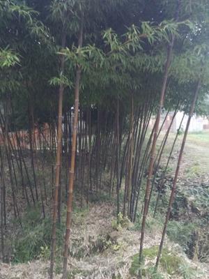 湖南张家界紫竹
