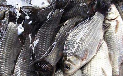广西南宁池塘鲫鱼 0.05公斤 人工养殖 鲫鱼 各种品种 优质健康鲫鱼批发 广西鱼苗批发 鲫鱼批发 鱼