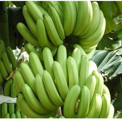 广西南宁威廉斯香蕉 50 - 60斤 八成熟
