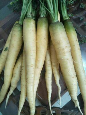 山东济南黄胡萝卜 10~15cm 3两以上 3~4cm