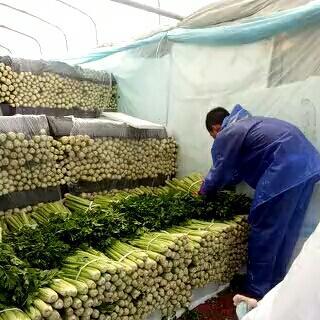 宁夏回族自治区固原市西吉县宁夏西芹 60cm以上 露天种植 0.5斤以下